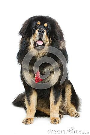 Free Beautiful Big Tibetan Mastiff Dog Royalty Free Stock Images - 74765289