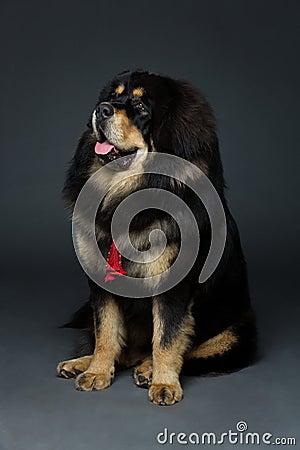 Free Beautiful Big Tibetan Mastiff Dog Royalty Free Stock Images - 76407499