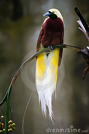 Beautiful bird of paradise