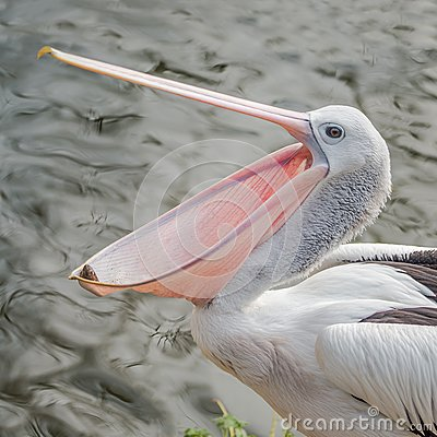 Free Beautiful Black And White Australian Pelican Playing With A Ston Royalty Free Stock Images - 104794329