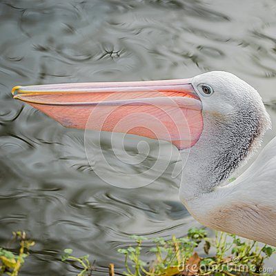 Free Beautiful Black And White Australian Pelican With Red Beak Stock Photography - 104794252