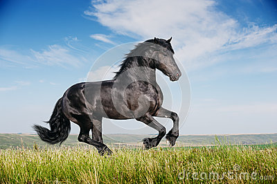 Beautiful black horse running gallop