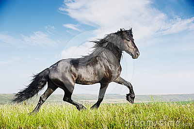 Beautiful black horse running trot