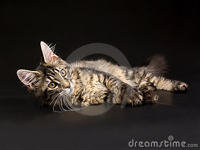 Beautiful black tabby Maine Coon kitten on black