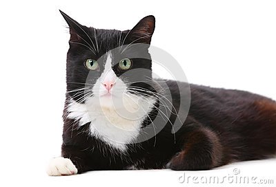 Beautiful black and white cat over white