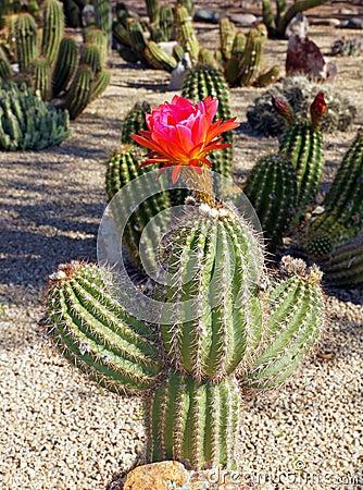 Beautiful bloom of the hedgehog cactus