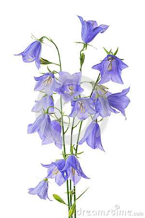Free Beautiful Blooming Bouquet Blue Bell Flower Isolated On White Ba Stock Photos - 96152523