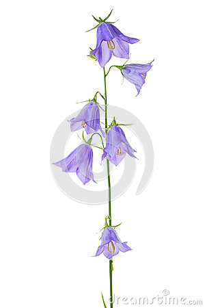 Free Beautiful Blooming Bouquet Blue Bell Flower Isolated On White Ba Royalty Free Stock Photos - 96152808