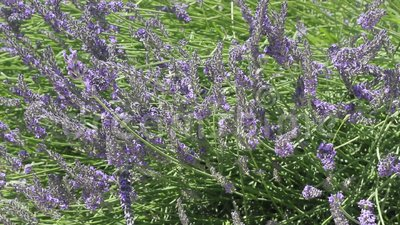 Beautiful Blooming Lavender. With sunlight stock video