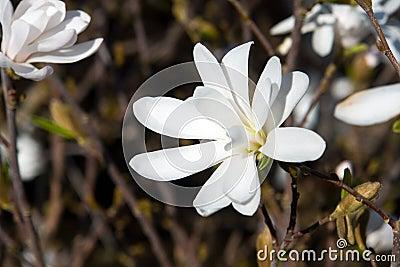 Beautiful blooming Magnolia