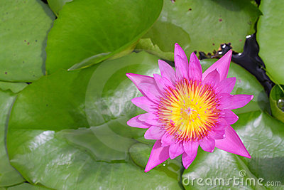 Beautiful blooming pink Lotus