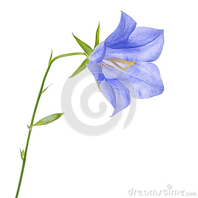 Free Beautiful Blooming Single Blue Bell Flower Isolated On White Bac Royalty Free Stock Photos - 102844518