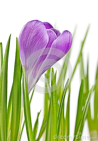 Beautiful blooming spring crocus flower