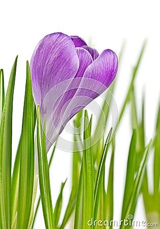 Beautiful blooming spring crocus flower