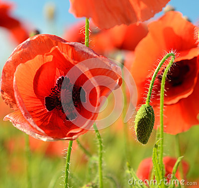Free Beautiful Blown Bud Poppy And Poppy Close Up Middle Of A Field O Stock Photos - 44731373