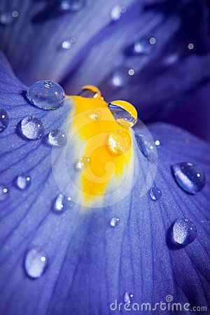 Free Beautiful Blue Iris With Drops Closeup Shot Stock Images - 24540934
