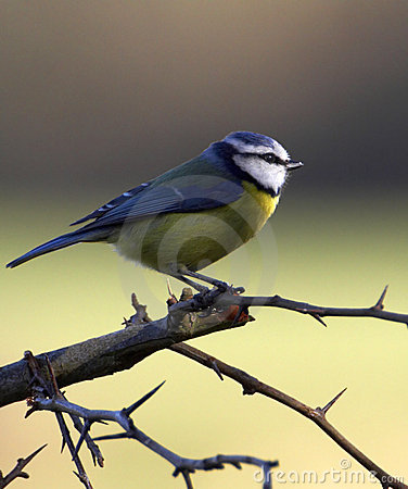 Free Beautiful Blue Tit. Stock Image - 2417721