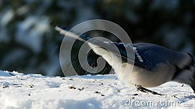 Beautiful bluejay bird, corvidae cyanocitta cristata, eating seeds on the snow a sunny winter day in Minnesota.  stock video footage
