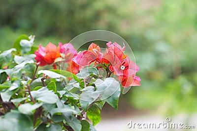 Beautiful bonsai bougainvillea
