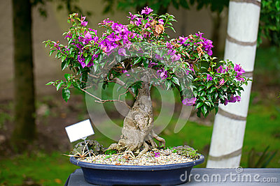 Beautiful bonsai bougainvillea