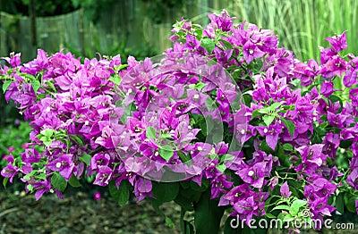 Beautiful bougainvillea flowers