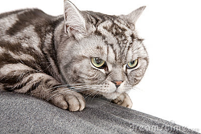 Beautiful British Shorthair Cat Royalty Free Stock Image - Image: 12549426