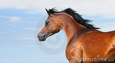 Beautiful brown arabian horse in motion isolated o