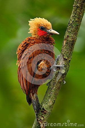 Free Beautiful Brown Bird Form Tropic Mountain Forest. Chestnut-coloured Woodpecker, Celeus Castaneus, Brawn Bird With Red Face From Co Royalty Free Stock Image - 75946716