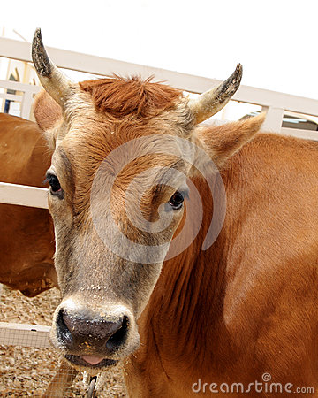 A beautiful brown cow