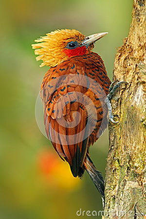 Free Beautiful Brown Form Tropic Mountain Forest. Chestnut-coloured Woodpecker, Celeus Castaneus, Brawn Bird With Red Face From Costa R Stock Photos - 75946843