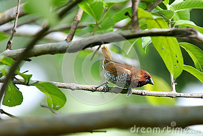 A beautiful brown Scaly-breasted Munia
