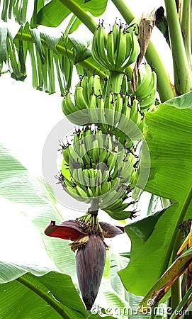 A beautiful bunch of unripe banana