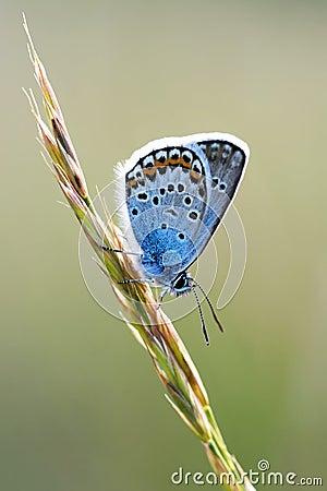 Free Beautiful Butterfly Macro Polyommatus Icarus Royalty Free Stock Photos - 94131098
