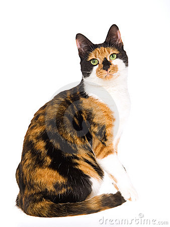 Free Beautiful Calico Cat On White Background Royalty Free Stock Photo - 10143535