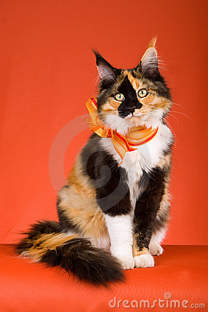 BEAUTIFUL CALICO MAINE COON ON