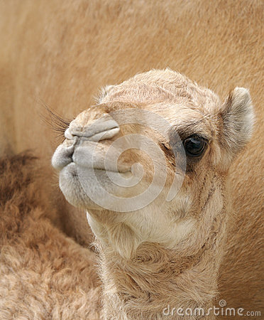 A beautiful camel calf staring at lens