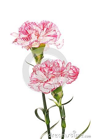 Free Beautiful Carnations Royalty Free Stock Photo - 23154515