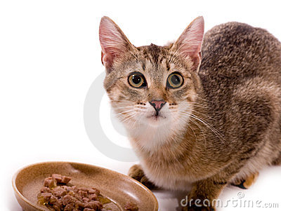 Beautiful cat eats cat-like meal