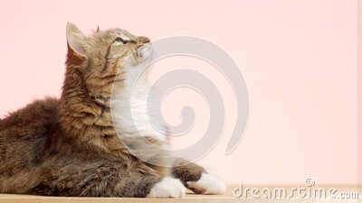 Beautiful cat on pink studio background, fluffy Siberian catlying and watching with interest, concept of pets, domestic animals stock footage