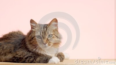 Beautiful cat on pink studio background, fluffy Siberian catlying and watching with interest, concept of pets, domestic animals stock video