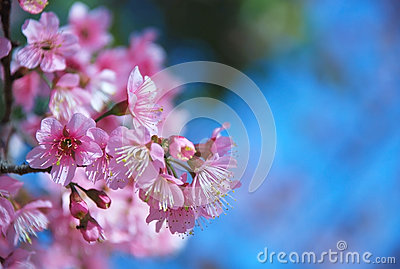 Beautiful Cherry blossoms in Chiangmai, Thailand