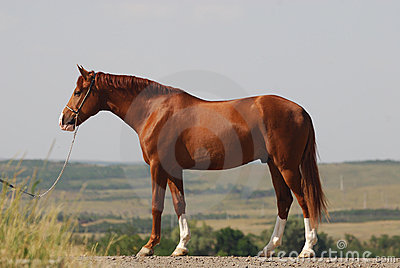 Beautiful chestnut gelding standing