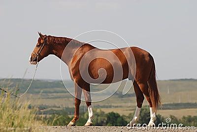 Beautiful chestnut gelding standing