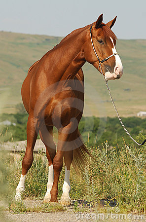 Beautiful chestnut gelding standing in the grass