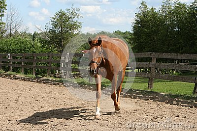 Beautiful Chestnut mare trotting