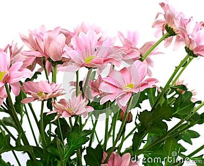 Beautiful chrysanthemum flower isolated on white