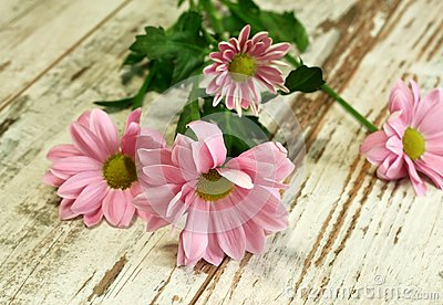 Beautiful chrysanthemum flower on old wooden