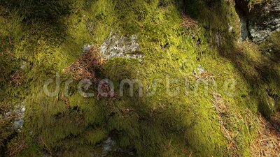 Beautiful close up view of stone overgrown with green moss. Beautiful nature backgrounds. Slow motion. Beautiful close up view of stone overgrown with green stock footage
