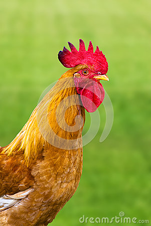 A beautiful cock