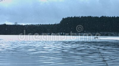 Winter landscape of lake. Beautiful cold winter landscape of the lake with swans and the forest behind them, in snowy weather in december. Frozen nature scenery stock video
